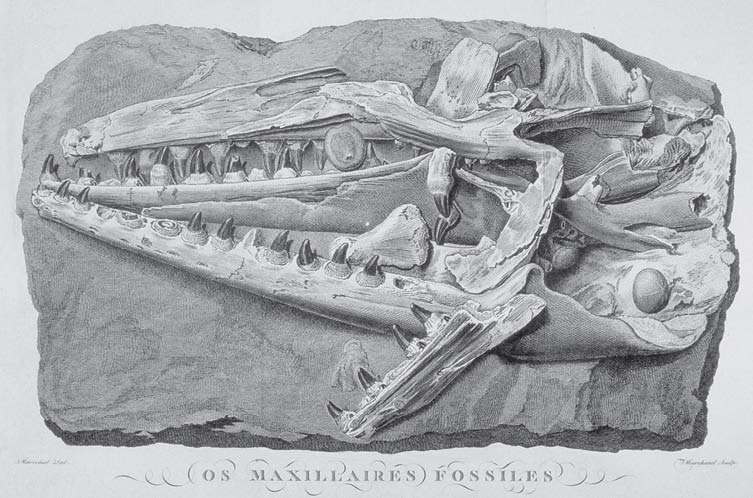 Fig. 2. Replica of mosasaur scull, original in the Muséum National d'Histoire Naturelle at Paris (Faujas- Saint-Fond, 1799, pl. 51).